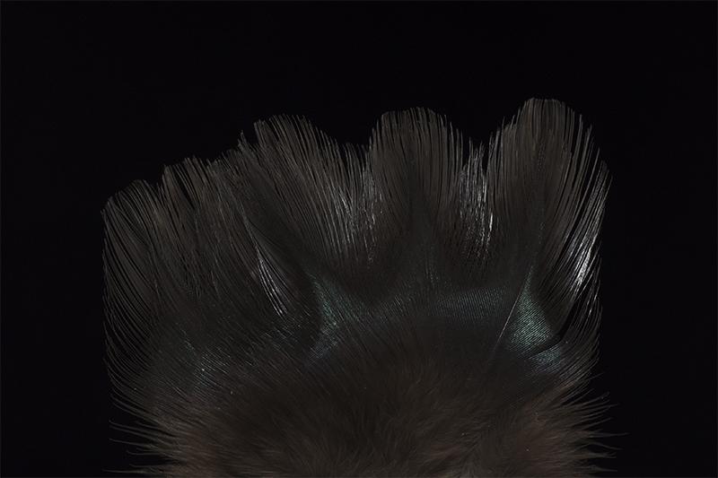 leon-indio-negrisco-mare
