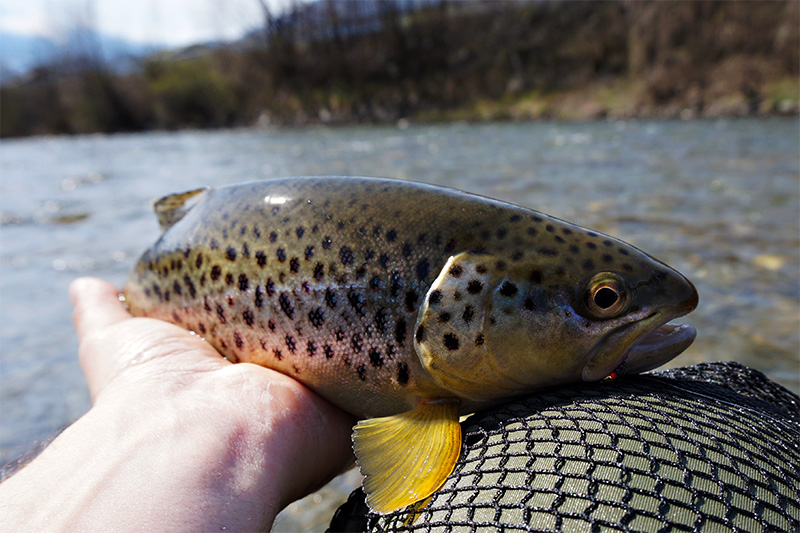 Autumn-fish-on-troutline-jig-nymphs